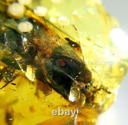 Burmite Amber Fossil SC5588 Extremely Rare 5cm Lizard