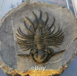 MUSEUM. Acanthopyge aff. Haueri extremely rare Fossil Trilobite. Mrakib. Morocco