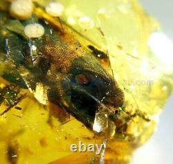 Burmite Amber Fossil Sc5588 Extremely Rare 5cm Lézard