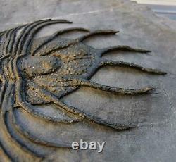 Musée. Acanthopyge Aff. Haueri Extrêmement Rares Trilobites Fossiles. Mrakib. Maroc